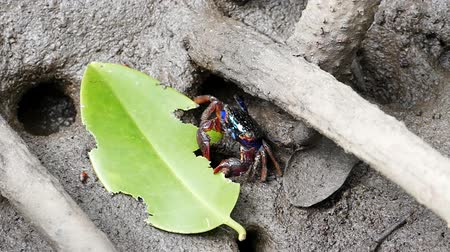 crab of the woods : Meders mangrove crabs (Sesarma mederi) in mangrove forest, concept slow motion.