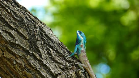 lento : Dragon lizard in nature running on tree slow motion.