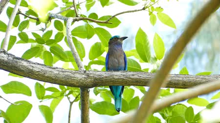 coracias benghalensis : Roller Coracias benghalensis was fly very fast and have purple or dark blue on the branch in nature.