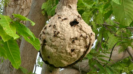 salya : Wasps building a nest on tree in tropical rain forest.
