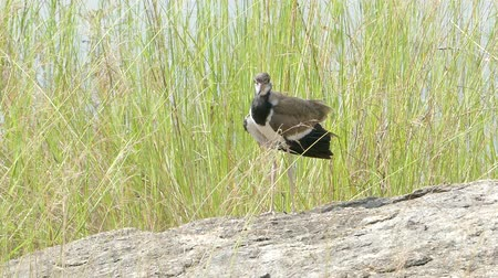 gregarious animal : Red-Wattled Lapwing in Lowlands, wetlands, Thailand. Stock Footage