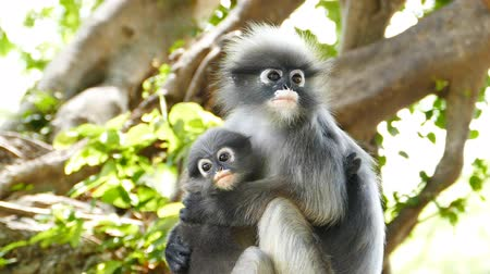 dal : Spectacled langurs with baby on the tree at rain forest, concept slow motion.