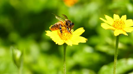 polinização : Bee in nature, honey bee pollinated of yellow flower. slow motion. Stock Footage