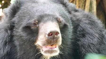 miś : Close up of Asian Black Bear. Wideo