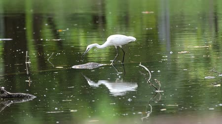 small heron : Great white Egret in nature.