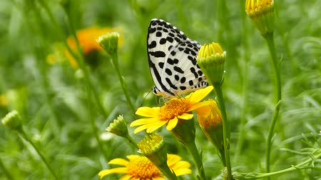polinização : Butterfly in nature, pollinated of yellow flower. Stock Footage