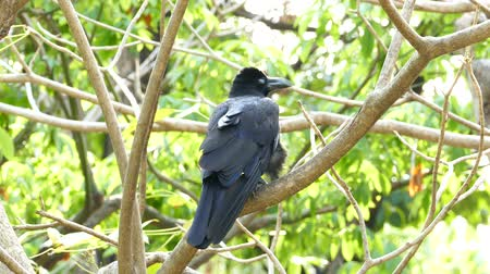 corvo : Black crow perched on branch.