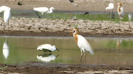 засуха : Cattle egret (Bubulcus ibis) in nature, at the last pond has been affected by drought in Thailand.