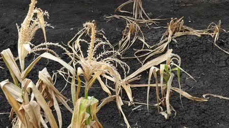 засуха : Corn field was damaged by drought Стоковые видеозаписи