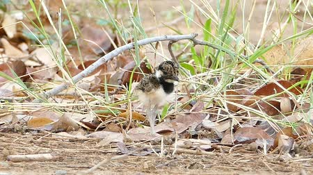indicus : Baby Red-wattled Lapwing (Vanellus indicus) standing in nest.