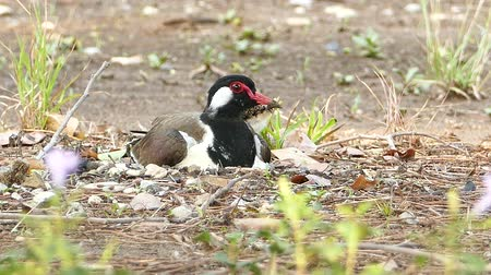 indicus : Baby Red-wattled Lapwing (Vanellus indicus) and mom, hatching eggs in nest.
