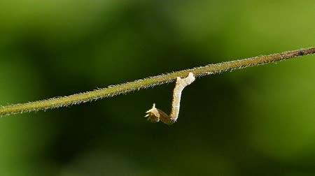 féreg : A worm making its way across a tree branch.