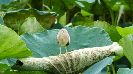 полет : Cattle Egret (Bubulcus ibis) bird on lotus leaves at wetlands in Thailand.