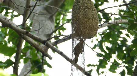 fészek : Asian Golden Weaver (Ploceus hypoxanthus) feeding chicks in the nest on high tree. Stock mozgókép