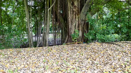 banyan : Old big banyan tree in national park, nature background.