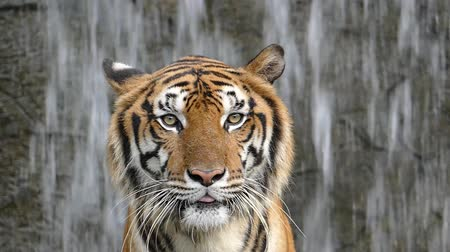 kaplan : Bengal tigers on waterfall background, slow motion.