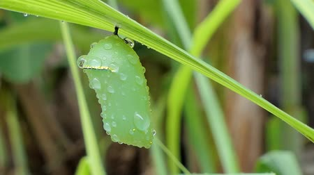 chrysalis : Pupa of a butterfly on leaves in tropical rain forest, after rain. Stock Footage