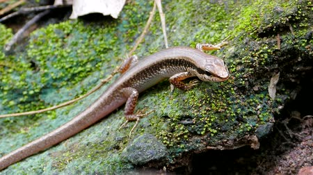black iguana : Black-spotted Ground Skink (Scincella melanosticta) on rock in tropical rain forest.