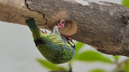 asian barbet : Coppersmith barbet Bird (Megalaima haemacephala) drilling the wood hollow for new nest in tropical rain forest.