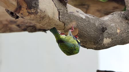 coppersmith barbet : Coppersmith barbet Bird (Megalaima haemacephala) drilling the wood hollow for new nest in tropical rain forest.