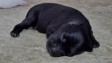 seio : ฺZoom in black puppies dog sleeping on ground after drink milk from breast mother. Stock Footage