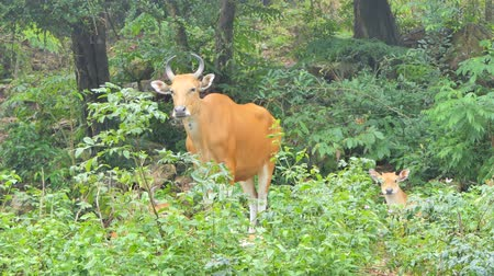 hovězí : Female Banteng cow (Bos Javanicus) in topical rain forest, a species of wildlife found in Southeast Asia. Dostupné videozáznamy