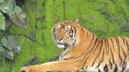 feroz : Indochinese tiger was yawning on rock background, filled with moss, in tropical rain forest.