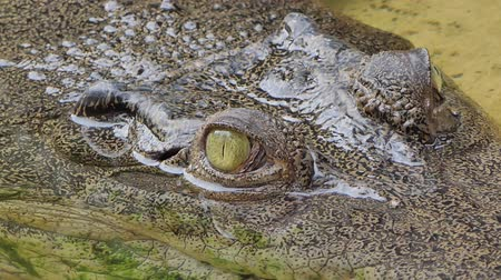 reptilian : Eyes of Saltwater crocodile (Crocodilus porosus) in nature. Half submerged in water.