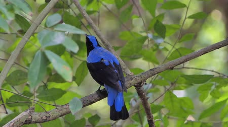 Asian Fairy Bluebird bird (Irena puella Latham) on branch in tropical rain forest.