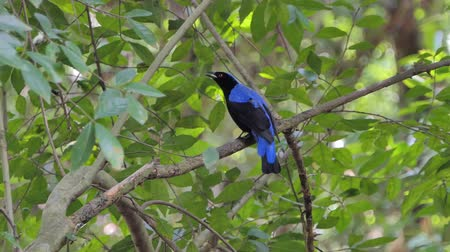 bird ecology : Asian Fairy Bluebird bird (Irena puella Latham) on branch in tropical rain forest.
