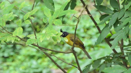 Black-crested Bulbul (Pycnonotus flaviventris) on branch in tropical rainforest. Stok Video