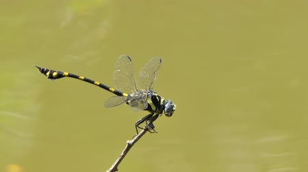 The Common Clubtail dragonfly (Gomphus vulgatissimus) flying and perch on branch, creek backgrounds in tropical rainforest.