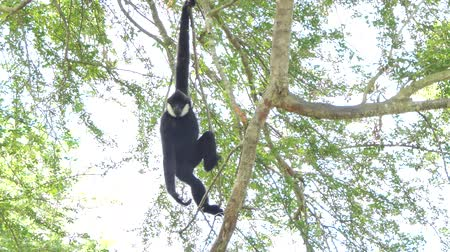 beest : Witte Cheeked Gibbon op boom in tropisch regenwoud. Stockvideo