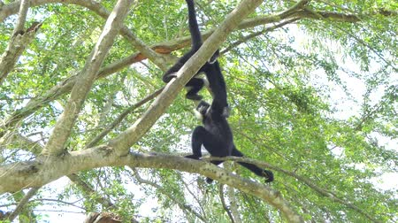 White Cheeked Gibbon on tree in topical rain forest.