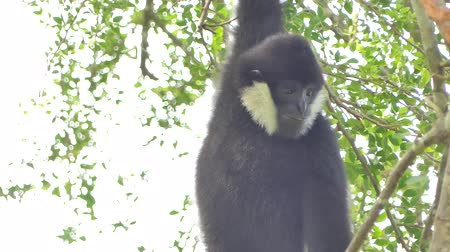 primaz : White Cheeked Gibbon on tree in tropical rainforest.