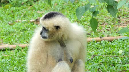 Young White Cheeked Gibbon in tropical rain forest. Stok Video