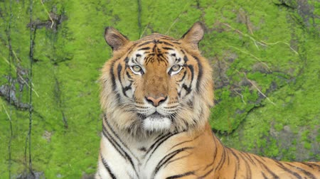 tehlike : Indochinese tiger in topical rain forest.