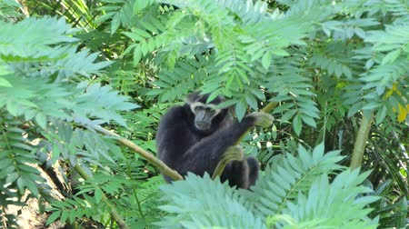 beest : Pileated Gibbon (Hylobates-pileatus) op boom in actueel regenwoud. Stockvideo