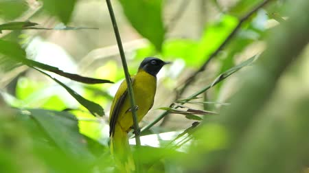 Sooty-headed bulbul bird (Pycnonotus aurigaster) on branch in tropical rainforest. Stok Video