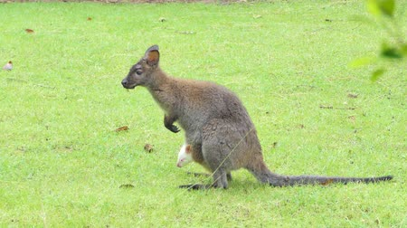 bushland : White Bennetts Wallaby baby (Macropus rufogriseus) in abdominal pouch of a mother Wallaby.