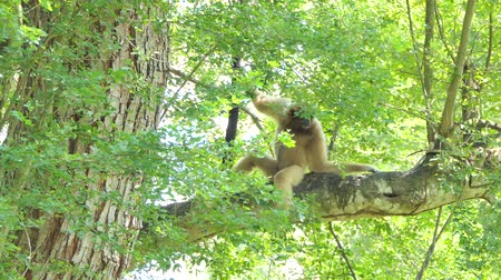 primaz : White Handed Gibbon (Hylobates lar) on tree in tropical rain forest. Vídeos