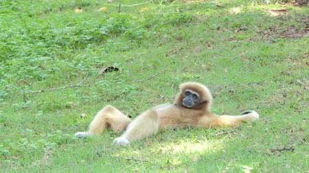 endangered species : White Handed Gibbon (Hylobates lar) take a rest on greensward in tropical rain forest. Stock Footage