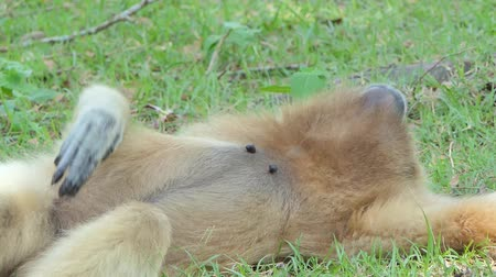 White Handed Gibbon (Hylobates lar) take a rest on greensward in tropical rain forest. Vidéos Libres De Droits