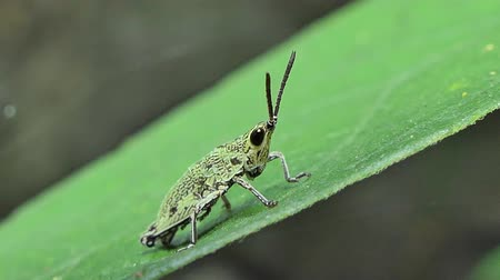 скрывать : Dolly shot of Green Grasshopper on the leaf in tropical rain forest. Стоковые видеозаписи