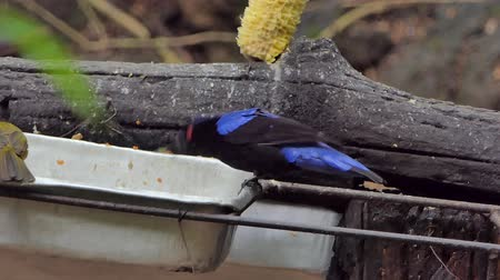 Asian Fairy Bluebird bird (Irena puella Latham) eating food in public park.