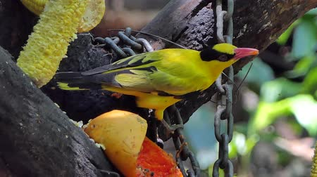 bird ecology : Black-naped Oriole bird (Oriolus chinensis) eating papaya in public park. Stock Footage