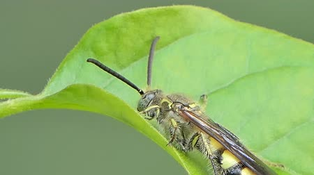 энтомология : Bee on leaf in tropical rain forest, animal backgrounds. Стоковые видеозаписи