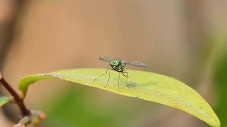 travestimento : Long legged flies on leaf in tropical rainforest, animal backgrounds.