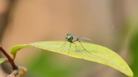 ekolojik : Long legged flies on leaf in tropical rain forest, animal backgrounds. Stok Video