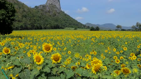 Tilt up shot of sunflowers growing in field, agriculture industry, at rural of Thailand. Stok Video